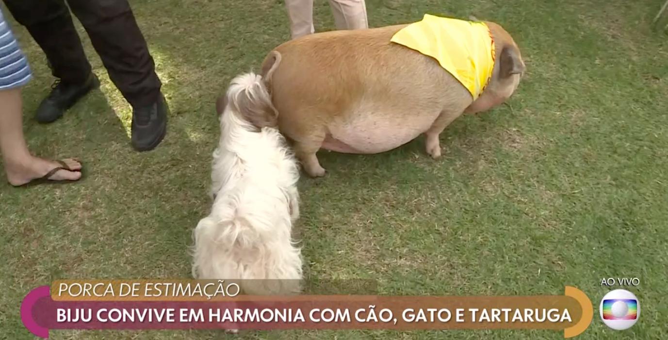 Porquinha Biju no Encontro com a Fátima Bernardes Foto: Reprodução Globo Play