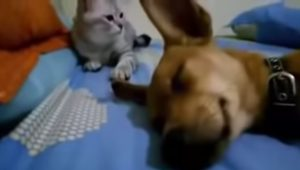 Cão e gato se enfrentam (Foto: reprodução)