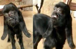 """Cabra com """"rosto humano"""" (Foto: Reprodução)"""
