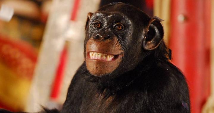 Chimpanzé Chico foi um dos destaques de Caras & Bocas. (Foto: Divulgação)