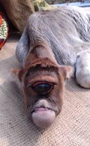Vaca deformada (Foto: Reprodução)